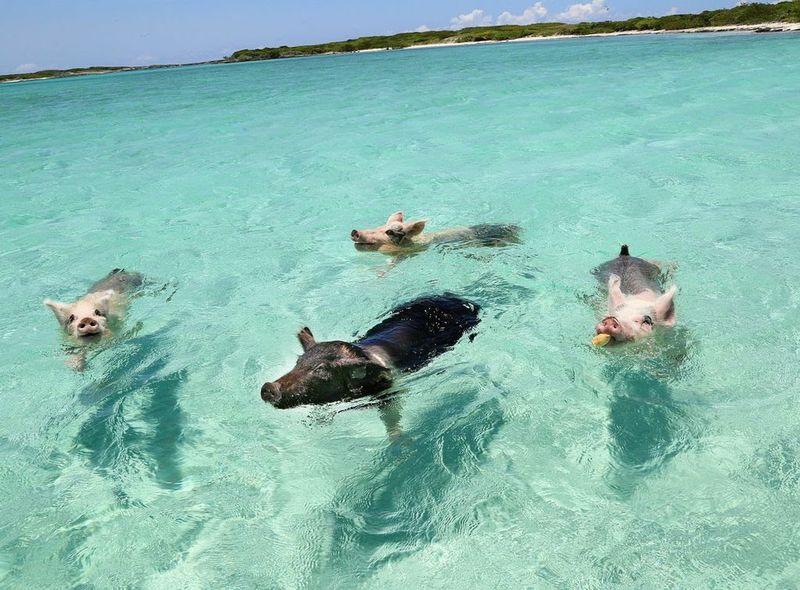 Swimming Swine Getaways