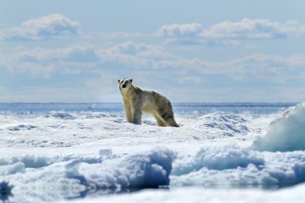 Profound Polar Bear Portraiture
