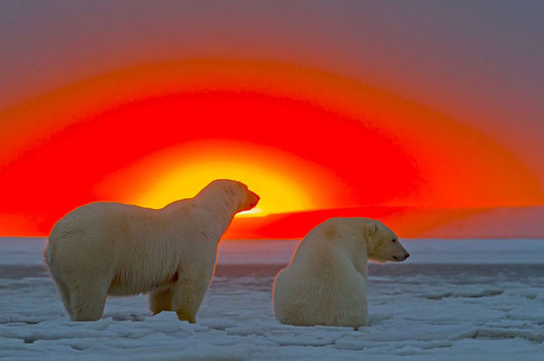 Gloaming Polar Bear Portraits