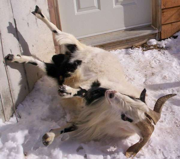 The Fainting Goat Phenomenon