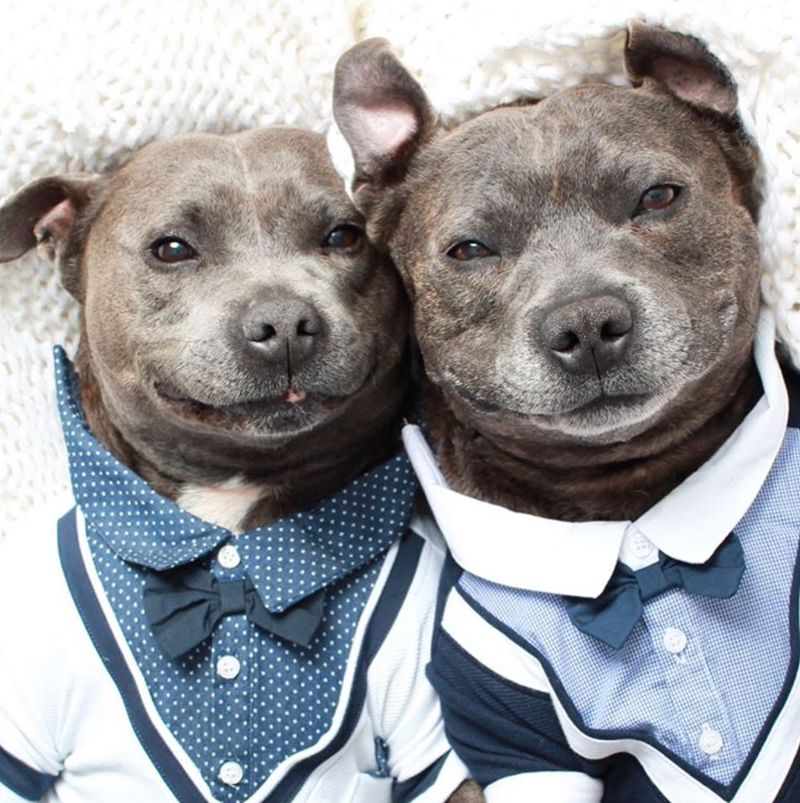 Brotherly Pit Bull Photography