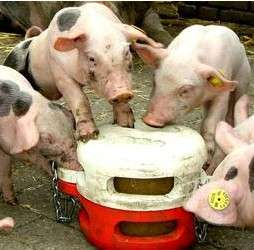Toys For Pigs