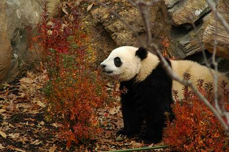 train pandas to live in the wild