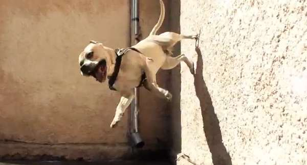 Wall-Climbing Canines