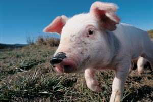 Viral Pork Campaign