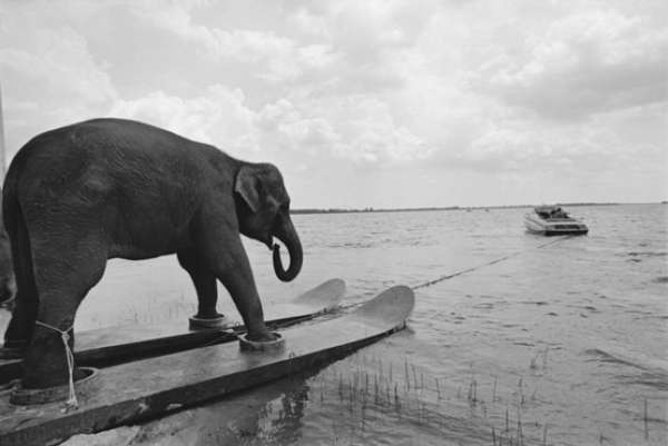 Water-Skiing Elephants