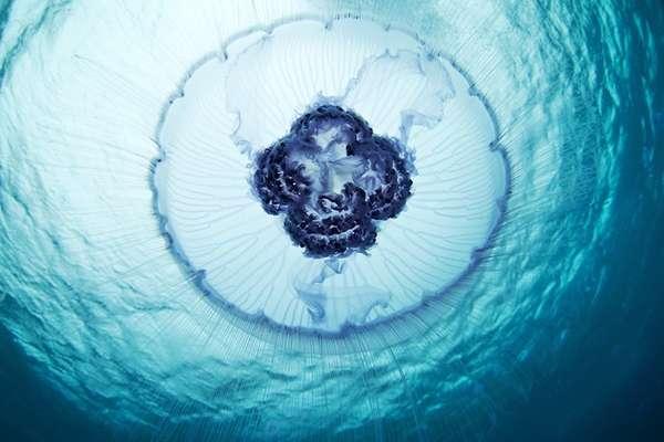 Oceanic Jellyfish Captures