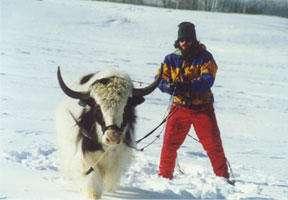 Yak Skiing