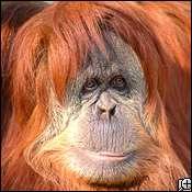 Web Dating For Orangutans