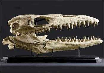 Auctioning the Ancient - Bid on a Triceratops Skeleton
