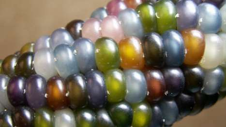 Multi-Hued Maize