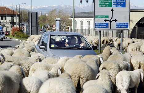 Sheep As Lawn Mowers