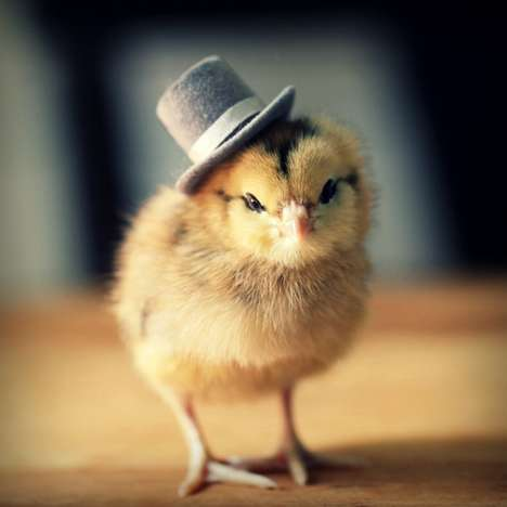 Fashionable Fowl Photography
