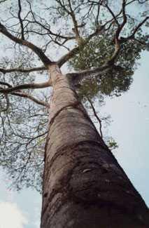Diesel Trees