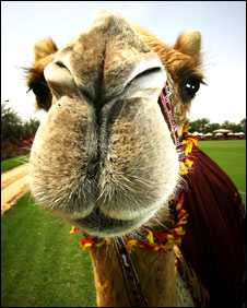 $2.72 Million Camels - Dubai Prince Splurges on a Dry Hump