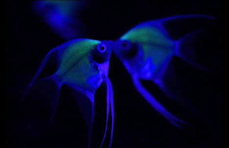 Engineered Iridescent Fish