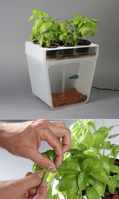 Fishtank-Planter Hybrids - The Aquaponics Garden Feeds Fish Excretion to Herbs for Nutrients