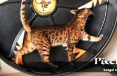 Feline Exercise Equipment