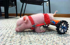 Disabled Piglet Wheelchairs - This Adorable Piglet Gets Around with a Tiny Hind Leg Wheelchair