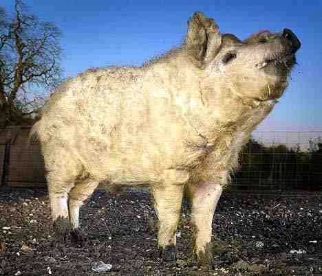 Pigs That Look Like Sheep