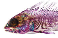 Translucent Pigmented Fish Art - These Illustrations of Transparent Fish are Made of Neon Lights