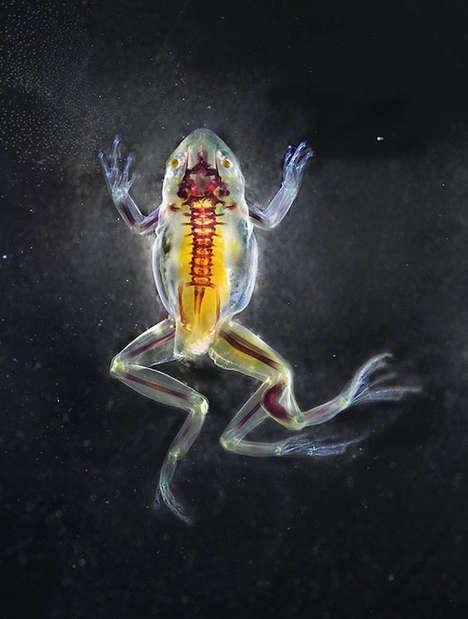 Translucent Deformed Amphibians
