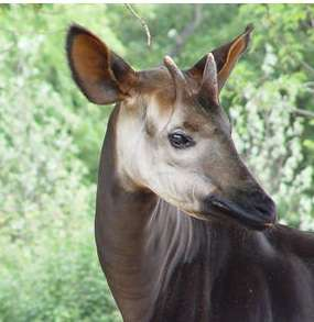 First African Okapi Photos