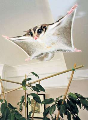 Exotic Flying Pets - UK Goes Sugar Glider Crazy