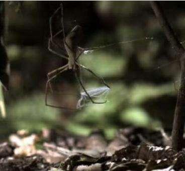 Gladiator Arachnids