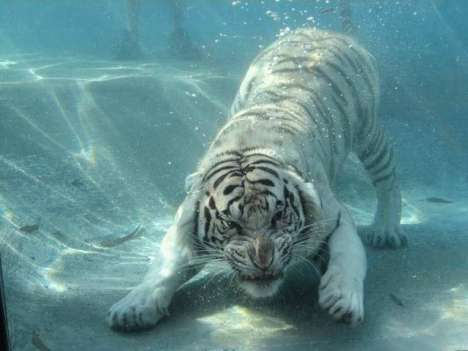 Big Cats That Love Water