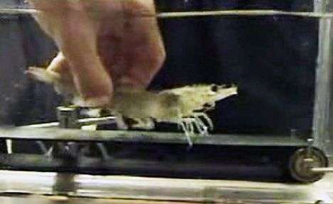 Shrimps On Treadmills