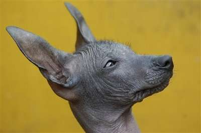 47 Petcessories To Make Even A Peruvian Hairless Dog Less Ugly