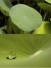 Lotus Leaf Self-Cleaning Surface