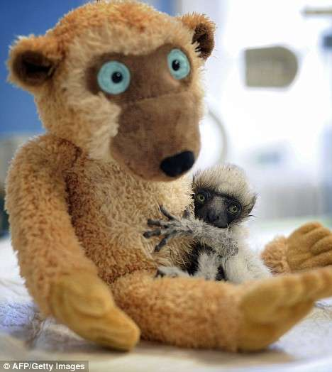 Plush Parenting - Teddy Bear Proves Helpful In Nurturing Endangered Lemur