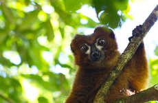 Lemur-Tracking Facial Software - LemurFaceID Builds a Database of the Madagascar Mammals