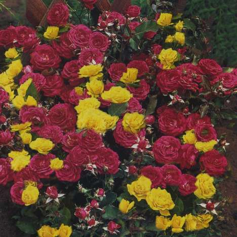 Two-Color Rose Bushes