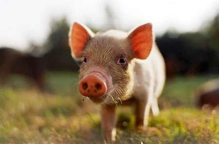 54 Pig-Inspired Innovations
