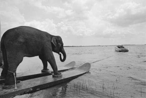 Water-Skiing Elephants