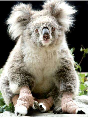 Sam the Australian Koala is Nature World's New Superstar
