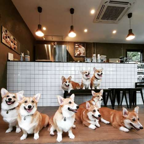 Dedicated Corgi Cafes - Bangkok's 'Corgi in the Garden' Combines Coffee and Corgis in One Place