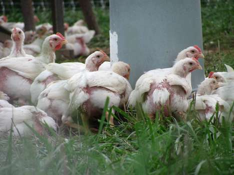 Pasture-Raised Poultry Farms