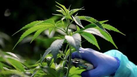 Ready-to-Drink Cannabis Teas