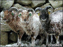 Sheep Changing Shape