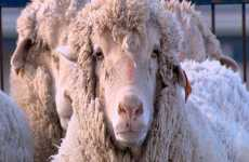 Scientists Create A Sheep That's 15% Human