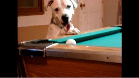 Billiards for Barkers - Halo the Pool Playing Dog Captivates YouTube Users