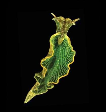 Solar-Powered Sea Slugs