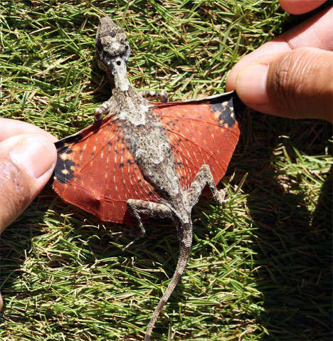 Mini Dragon Pets - An Avatarian Reptile Found in Indonesia