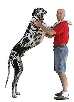 World's Largest Dog - Gibson the Great Dane Stands 7 Feet Tall