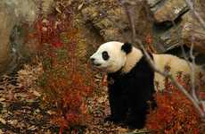 Panda Survival Schools - China Plans to Build Facility to Train Pandas to Live in The Wild