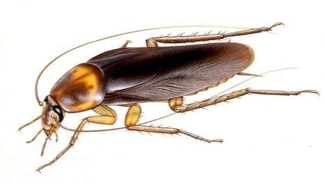 Medicinal Roaches